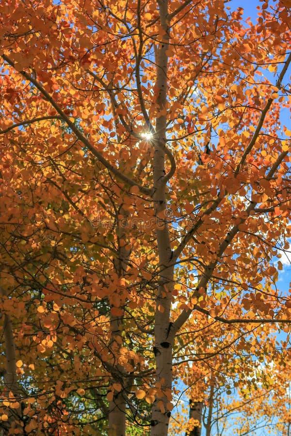 Яркий оранжевый Aspen выходит с небольшим sunburst стоковое фото rf