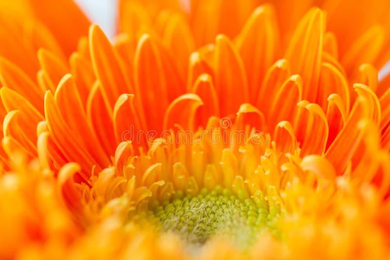 Яркий оранжевый gerbera цветет предпосылка стоковое изображение rf