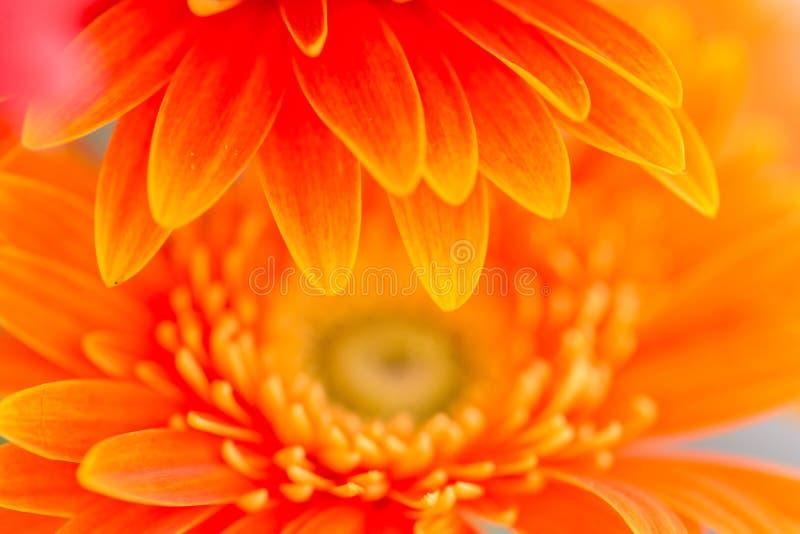Яркий оранжевый gerbera цветет предпосылка стоковое фото