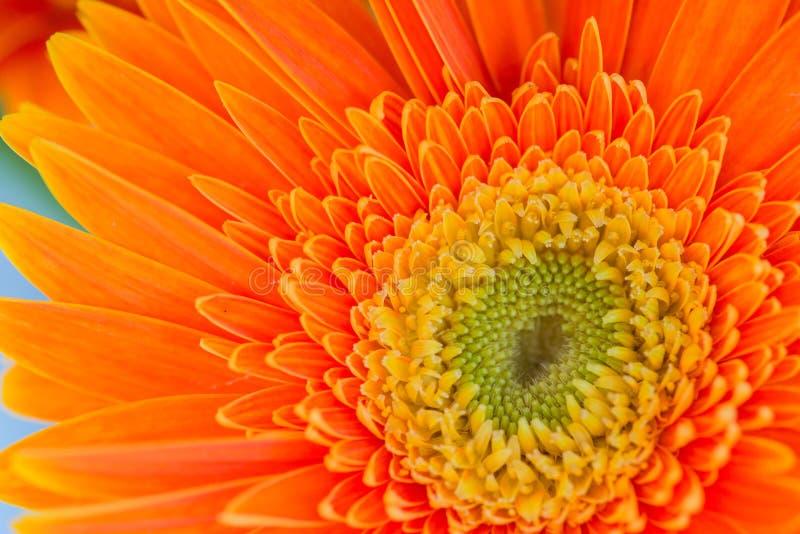 Яркий оранжевый gerbera цветет предпосылка стоковое изображение