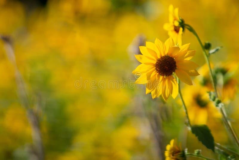 Яркий подсолнечный цвет на фоне желтого стоковая фотография rf