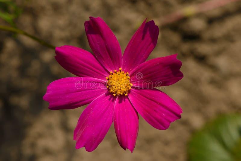 Яркий пурпурный цветок cosme стоковая фотография