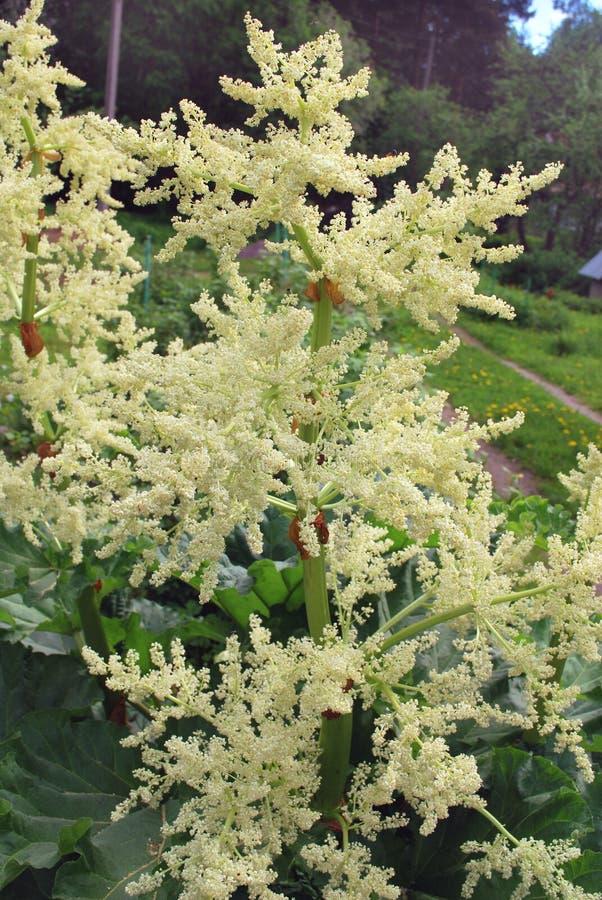 Яркий ревень белых цветков стоковое фото