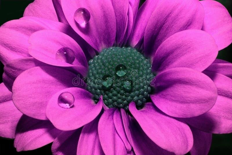 Яркий розовый крупный план хризантемы на черной предпосылке Красивый цветок с пурпурными лепестками и голубой серединой стоковое изображение