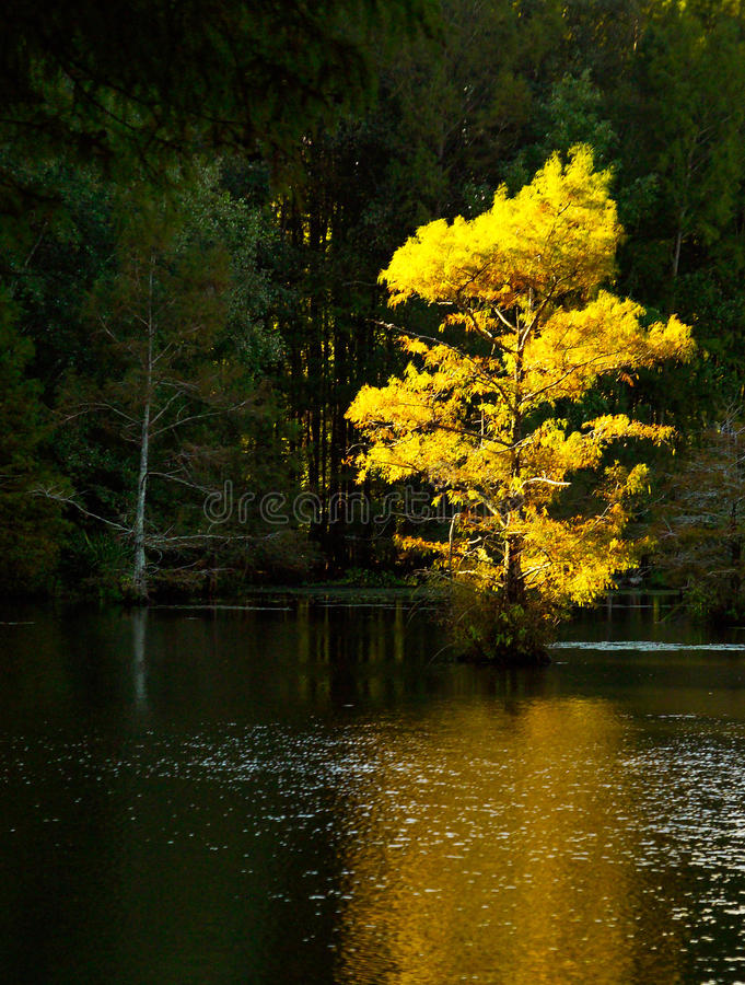 Яркий свет Солнця на дереве падения в Арканзасе стоковые фотографии rf
