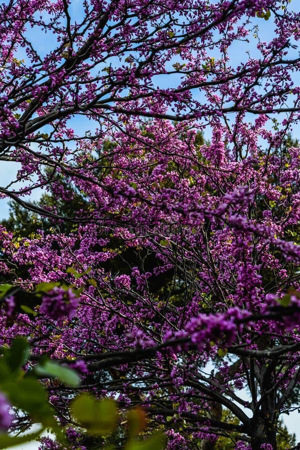 Яркий сезон зацветая Сакуры Парк города с вишневыми деревьями цветения Чувствительные розовые цветки, ветви дерева стоковые фото