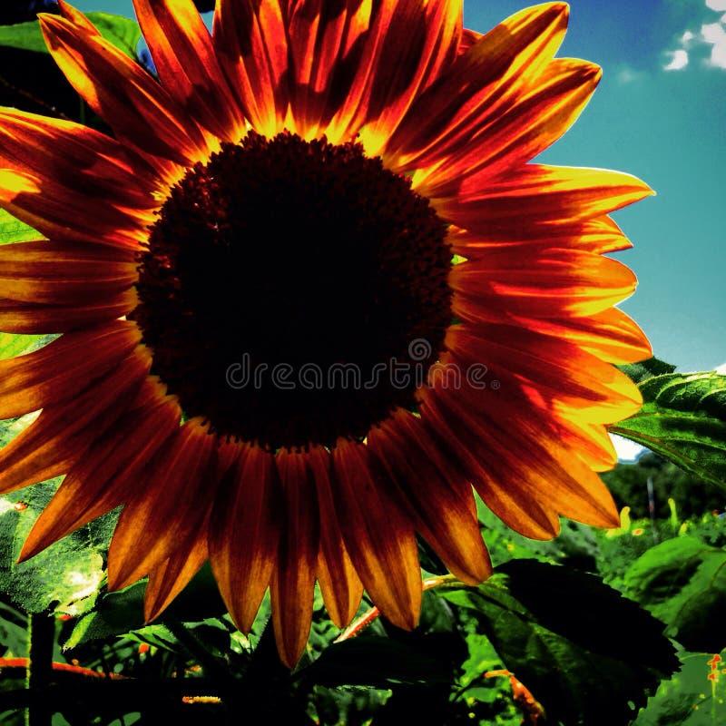 яркий солнцецвет стоковые изображения rf