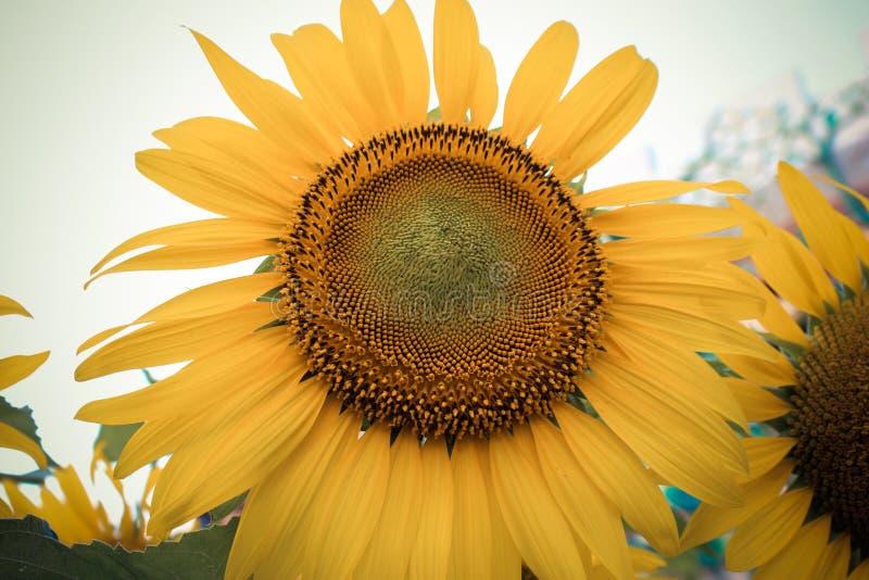 яркий солнцецвет стоковая фотография
