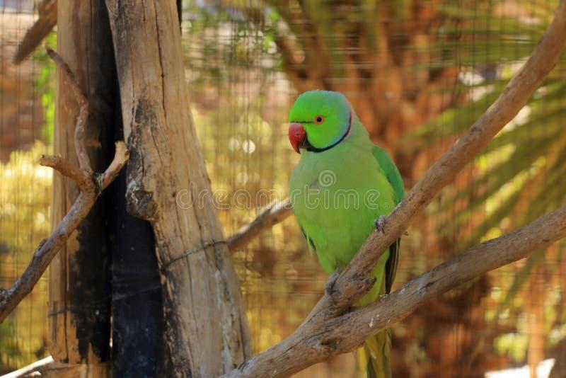 Яркий ый-зелен попугай, Роза-окруженный длиннохвостый попугай, krameri в клетке, плен ожерелового попугая стоковое фото rf