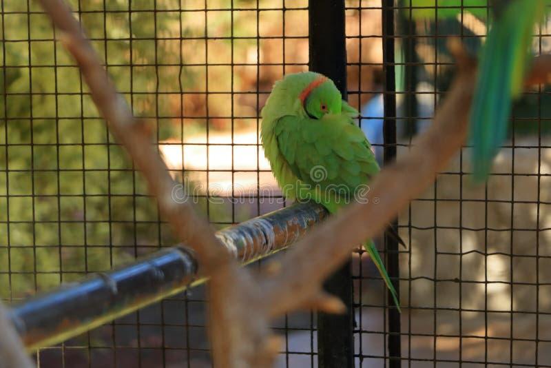 Яркий ый-зелен попугай, Роза-окруженный длиннохвостый попугай, krameri в клетке, плен ожерелового попугая стоковое изображение rf