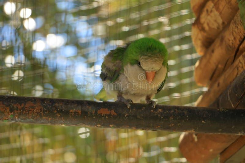 Яркий ый-зелен попугай, Роза-окруженный длиннохвостый попугай, krameri в клетке, плен ожерелового попугая стоковые изображения rf