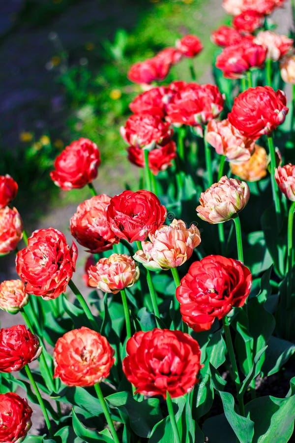 Яркий blossoming конец-вверх тюльпанов двойника последний Зацветая цветки на луге весны зеленый цвет сада стоковые изображения rf