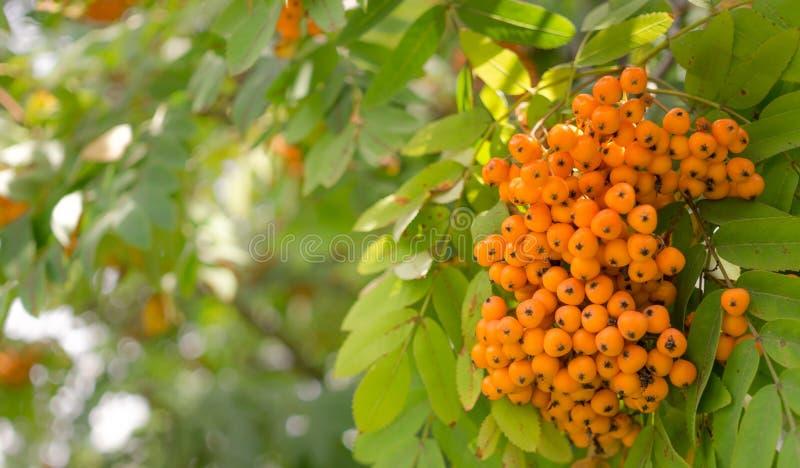 Яркий rowanberry Предпосылка лета стоковая фотография