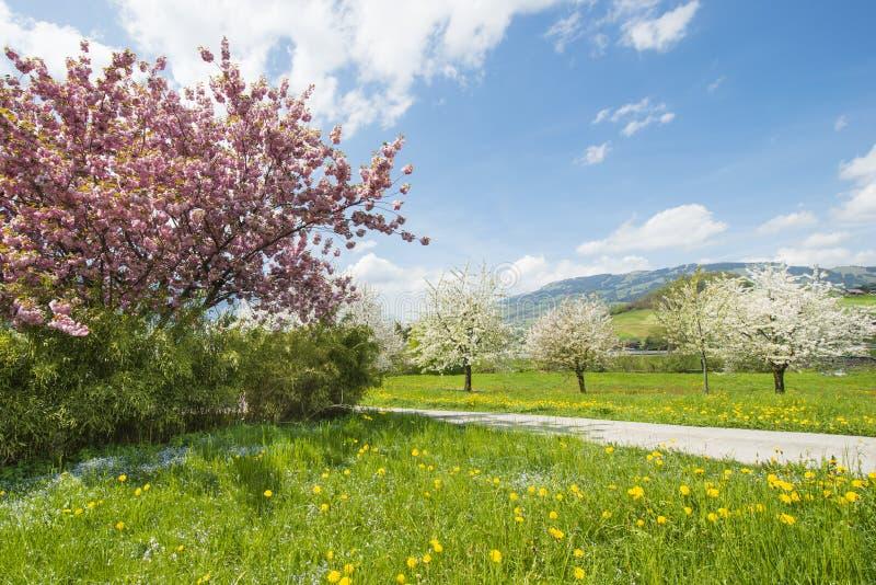 Яркое голубое небо над садом весны стоковые изображения