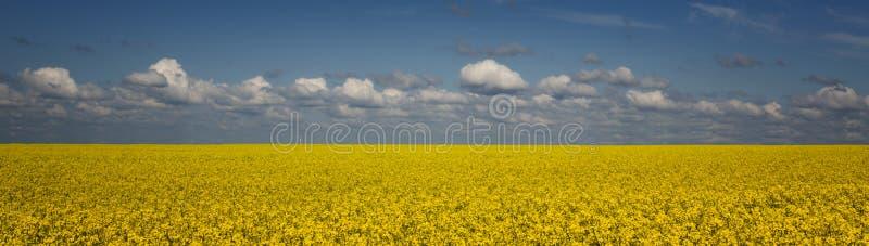 Яркое желтое поле рапса против голубого неба с облаками стоковые фотографии rf