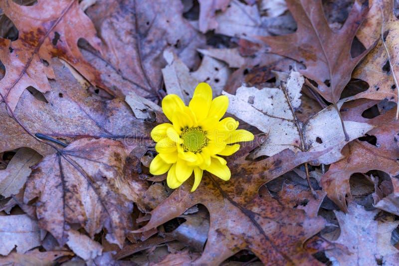 Яркое желтое растущее цветка chriysanthemum вверх между упаденным br стоковое фото