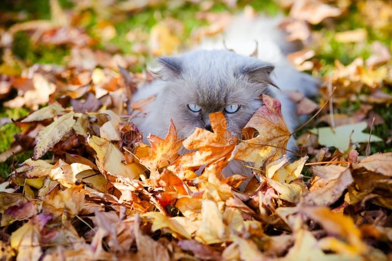 Яркое живое фото гималайского персидского кота в листьях осени стоковая фотография