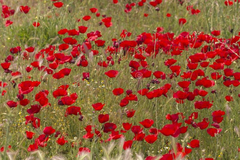 Яркое красное поле мака стоковые изображения
