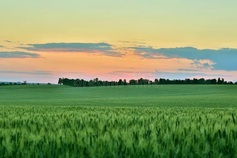 Яркое ое-зелен пшеничное поле после захода солнца стоковое фото