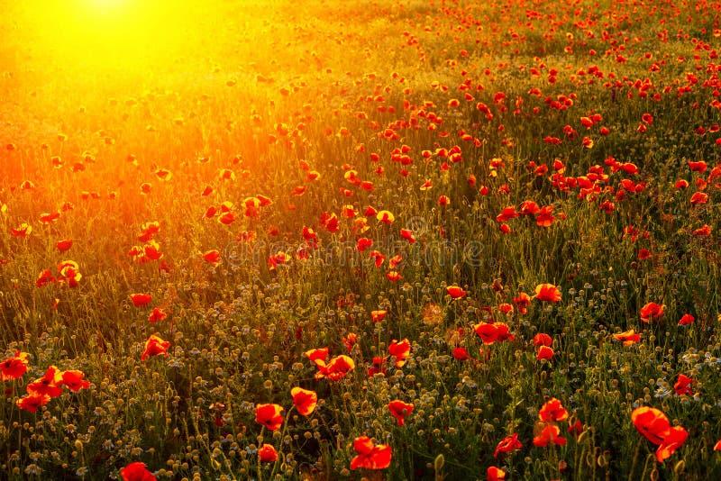 Яркое пламенистое поле мака в лучах захода солнца стоковая фотография rf