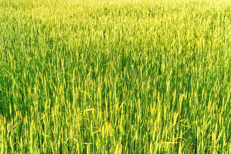 Яркое плотное зеленое поле рож с выборочным фокусом стоковое фото