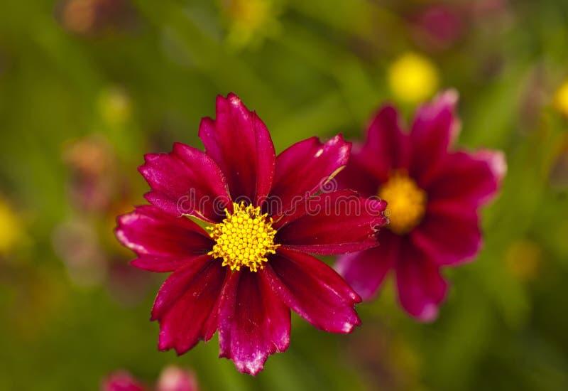 Яркое розовое поле цветка весной стоковая фотография rf