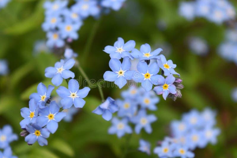 Яркое светлое - пук цветения голубых лазурных цветков естественный стоковые изображения rf