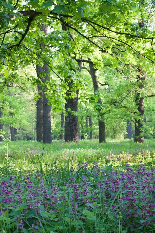 Яркое утро весны в пуще дуба стоковая фотография