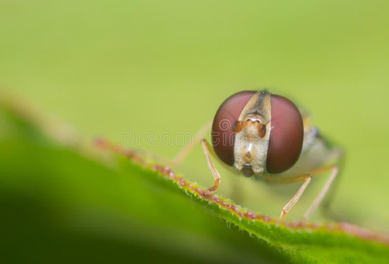 Яркое Hoverfly стоковая фотография rf