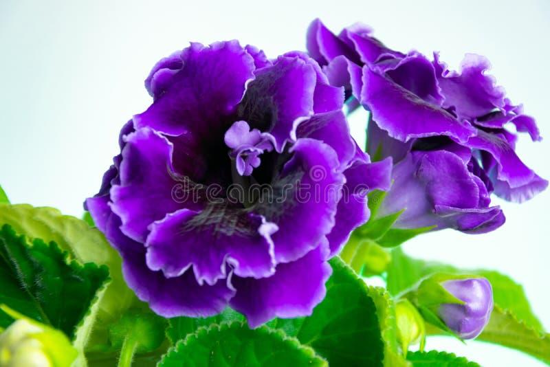 Ярко зацветая домашний цветок - пурпурный gloxinia стоковое фото