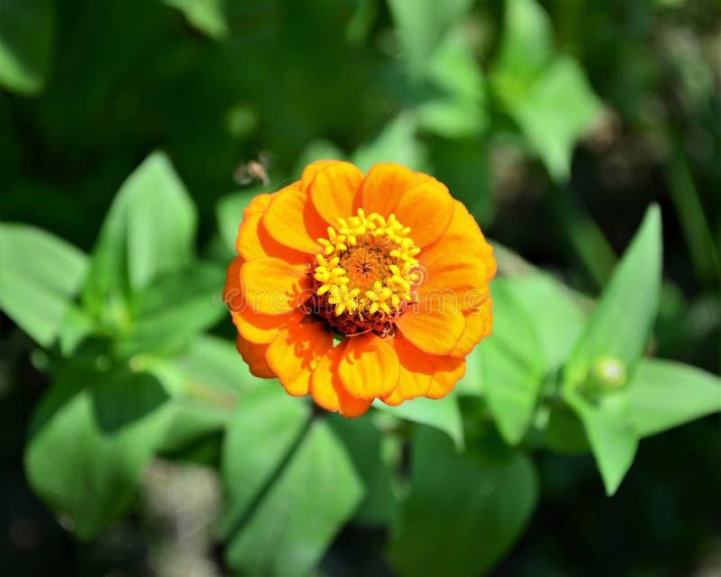 Ярко-оранжевый цветок циннии стоковая фотография rf