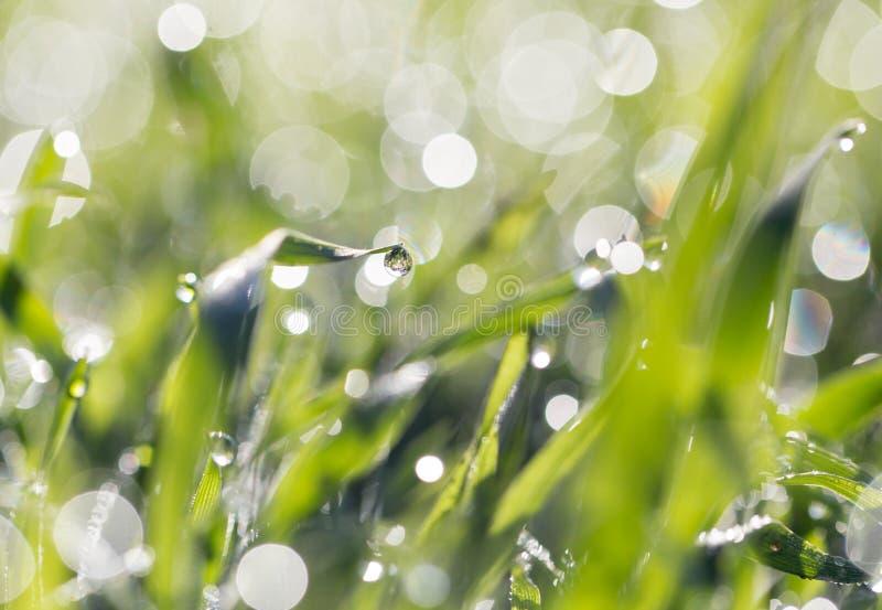 ясная роса dof падает предыдущая экологическая краткость изображения парков природы зеленого цвета травы оплакивая стоковое изображение