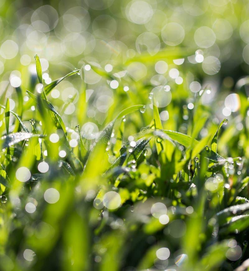 ясная роса dof падает предыдущая экологическая краткость изображения парков природы зеленого цвета травы оплакивая стоковая фотография rf