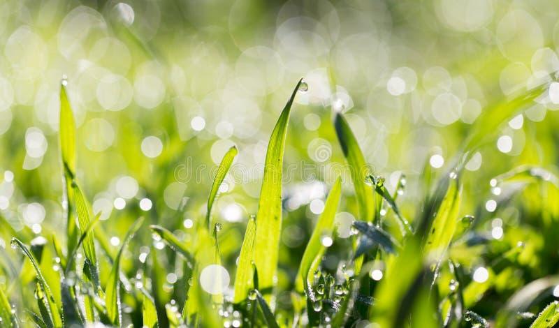 ясная роса dof падает предыдущая экологическая краткость изображения парков природы зеленого цвета травы оплакивая стоковое фото rf