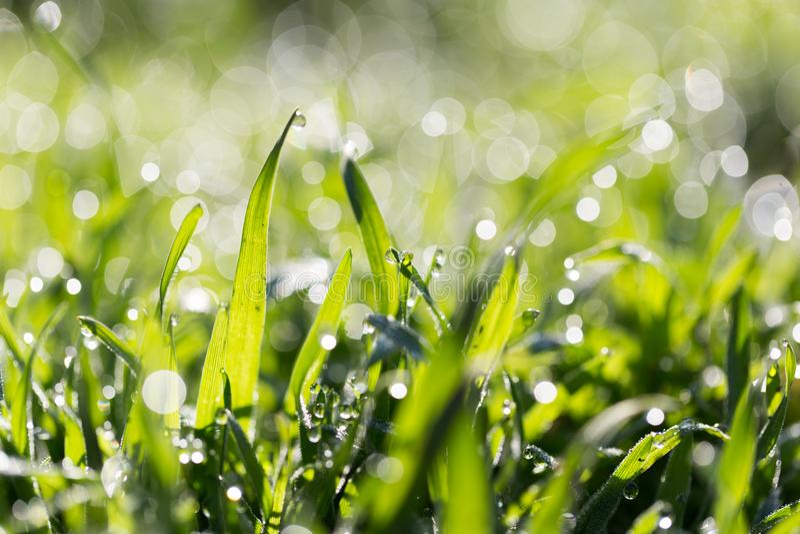 ясная роса dof падает предыдущая экологическая краткость изображения парков природы зеленого цвета травы оплакивая стоковое фото