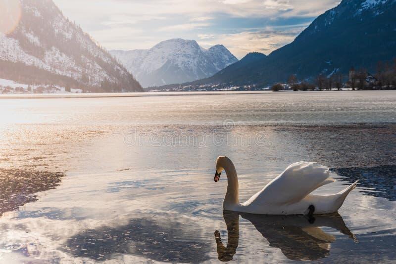 Ясный холодный ландшафт с голубым небом на Grundlsee, Австрии Лебеди на зиме озера стоковое фото rf