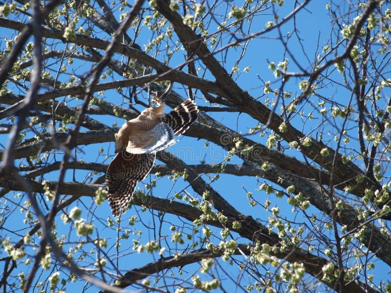 Ястреб воюет змейку в дереве стоковые фото