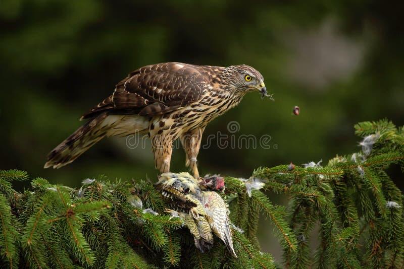 Ястреб-тетеревятник хищной птицы, gentilis настоящего ястреба, подавая зеленый седовласый Woodpecker сидя на елевом дереве в лесе стоковая фотография