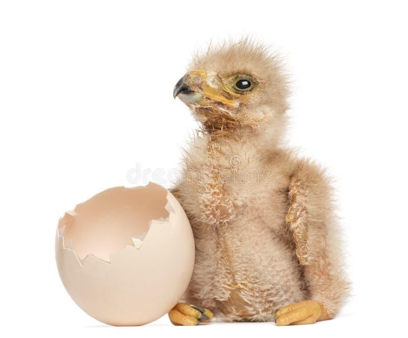 Ястреб Херрис детенышей рядом с яйцом от которого он насидел вне стоковые фото