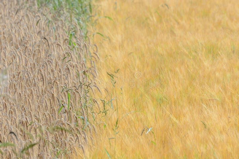 Ячмени и поле corns стоковое изображение