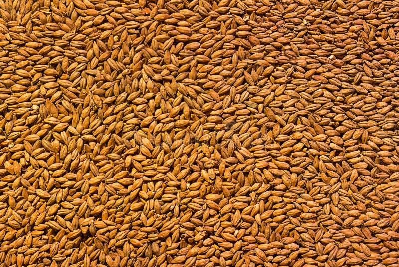 Ячмень зерна предпосылки, пиво ингридиента солода низкопробное варя, текстура подпрыгнутое золотого стоковые изображения