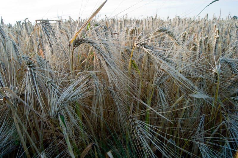 Ячмень зимы (vulgare l Hordeum ), то стоковые фотографии rf