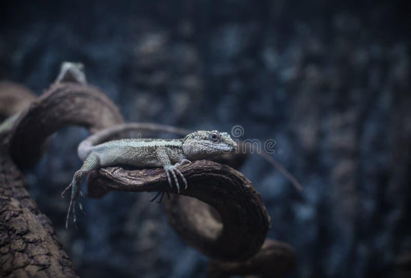 ящерица аквариума животных одичалая стоковое фото rf