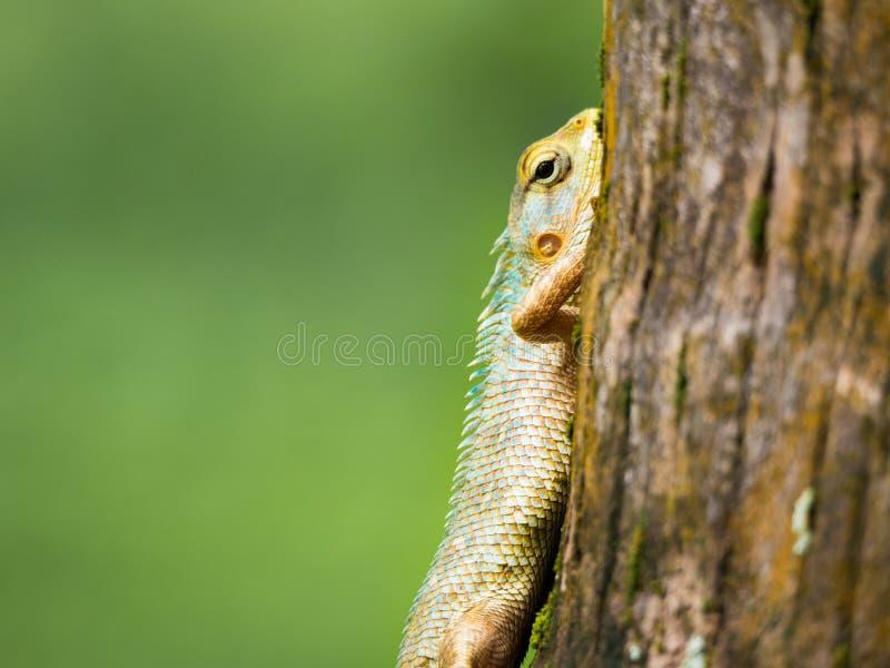 Ящерица близкого фокуса голубая и зеленая стоковые фотографии rf