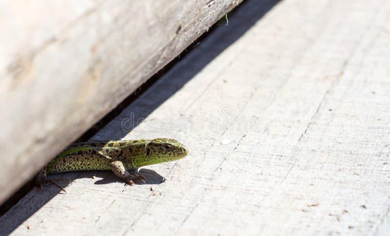 Ящерица взобралась на доске и греться в солнце стоковая фотография