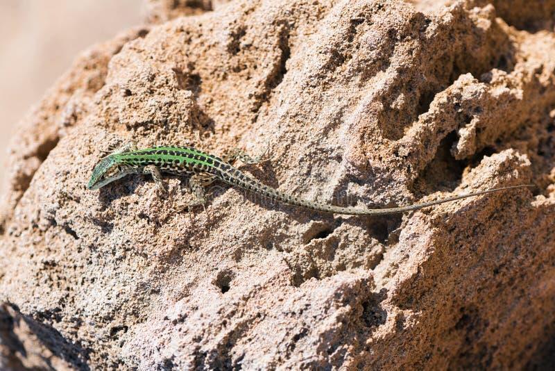 Ящерица вползая на утесе Живая природа в Апулии, Salento, Италии стоковые изображения