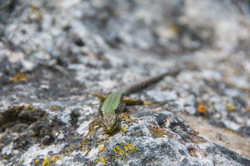 Ящерица вползая на утесе wildlife angoras : стоковое фото