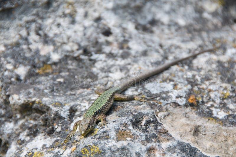 Ящерица вползая на утесе wildlife angoras : стоковые фотографии rf