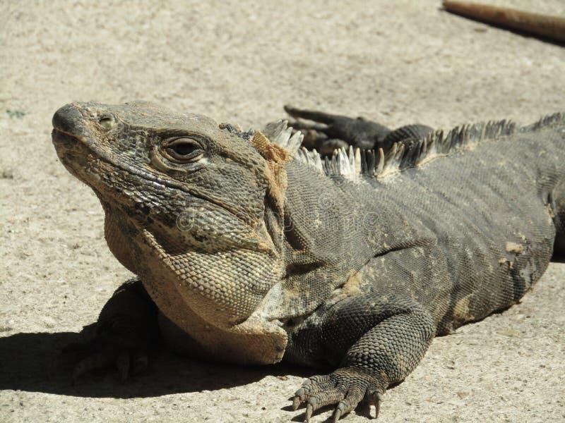 Ящерица в Майя Ривьеры стоковые изображения rf