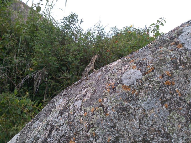 Ящерица в режим камуфлирования стоковое изображение rf